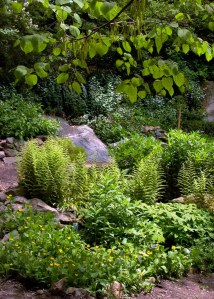 Native groundcovers: green-and-gold and hay-scented ferns in May 2010. Photo Credit: Mary Free