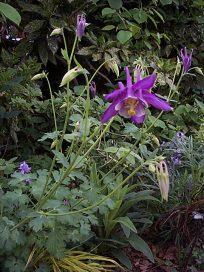 Shade garden purple flower