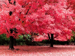 autum_maple_trees_red11.jpg