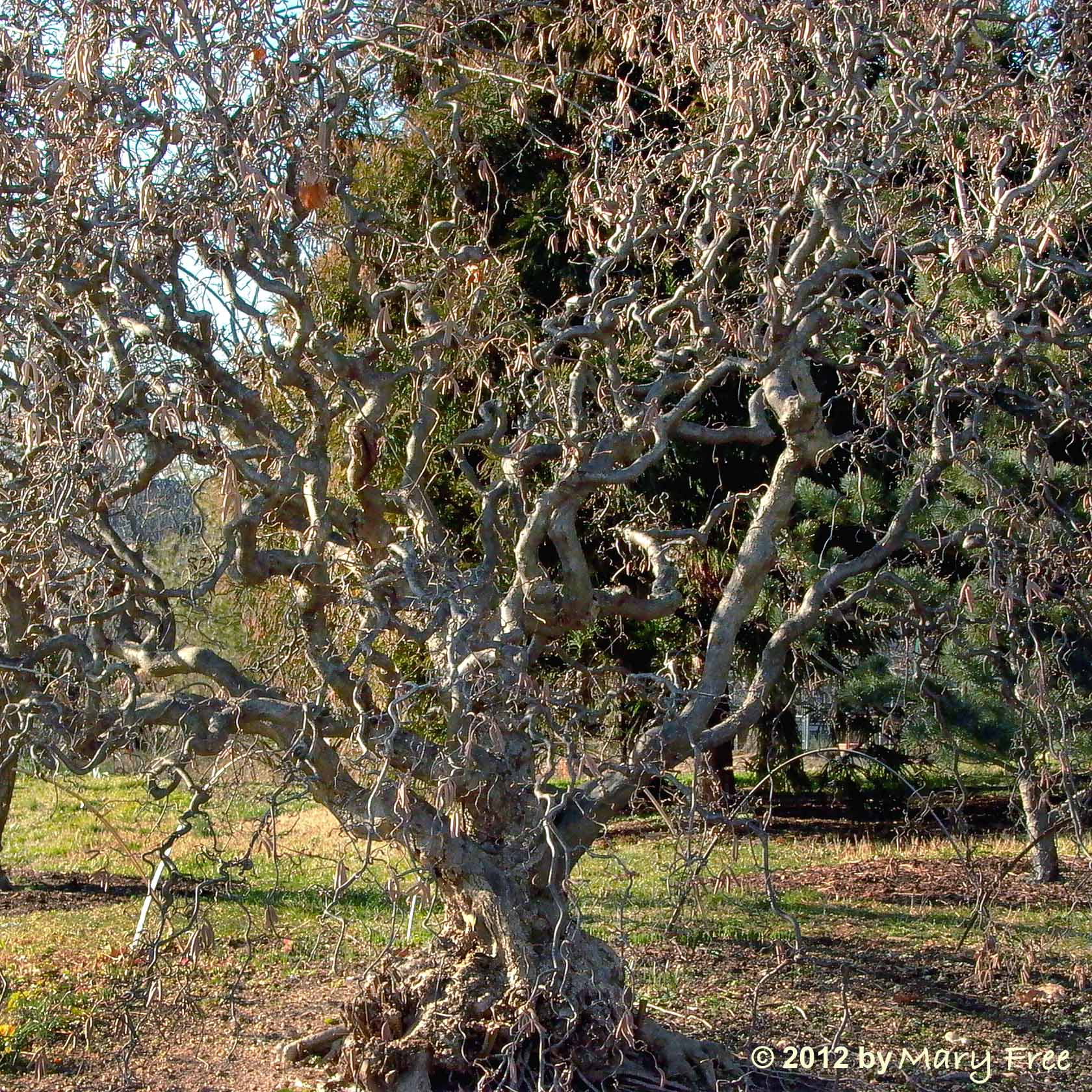 Harry lauder walking stick trees - Corylus Avellana Contorta Harry Lauder S Walking Stick Mary Free