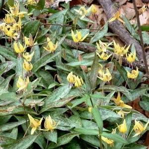Erythronium americanum (trout lily, dog-tooth violet)
