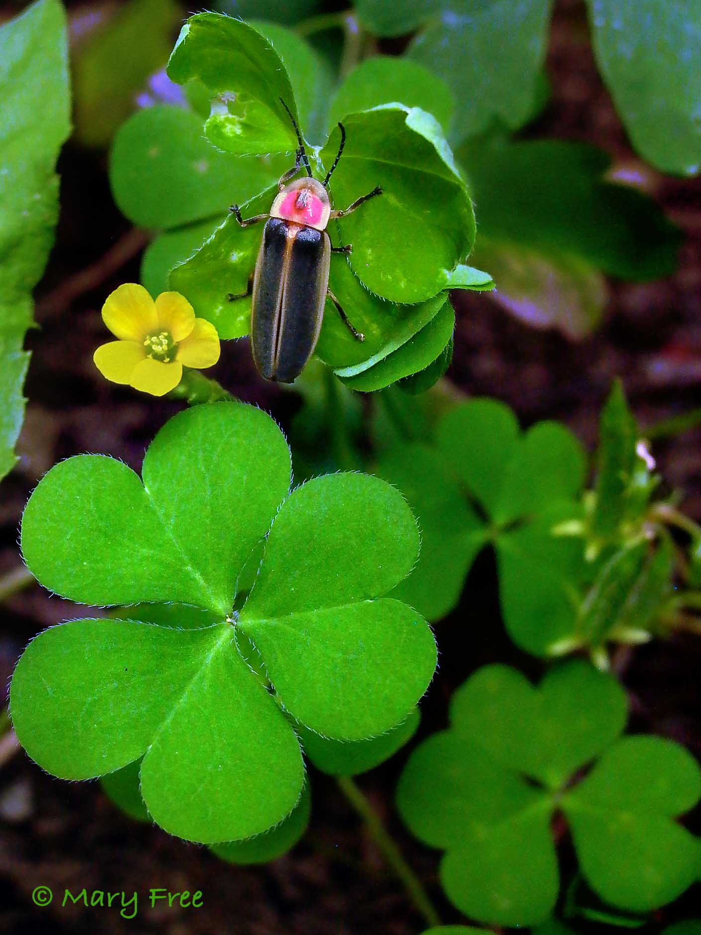 Will The Real Shamrock Please Stand Up Master Gardeners Of