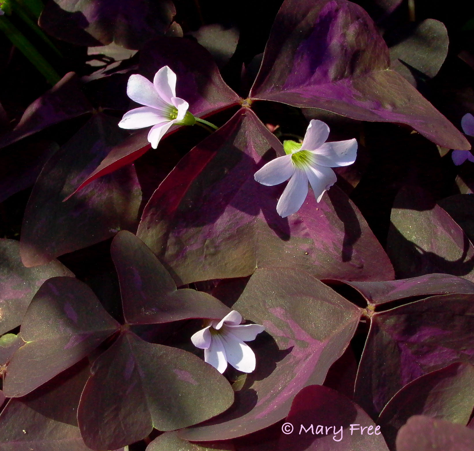 """Quarry Shade Garden At Bon Air Park: Will The Real Shamrock Please """"stand Up""""?"""