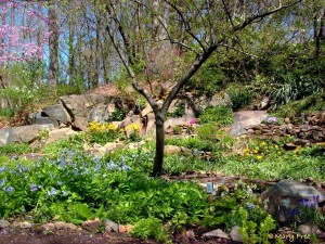 Bon Air Park Shade Garden in early April with Mertensia virginica (Virginia bluebells)