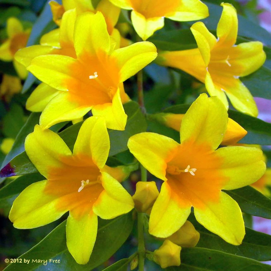 Gelsemium sempervirens (Carolina Jessamine) close-up. Photo © Mary Free