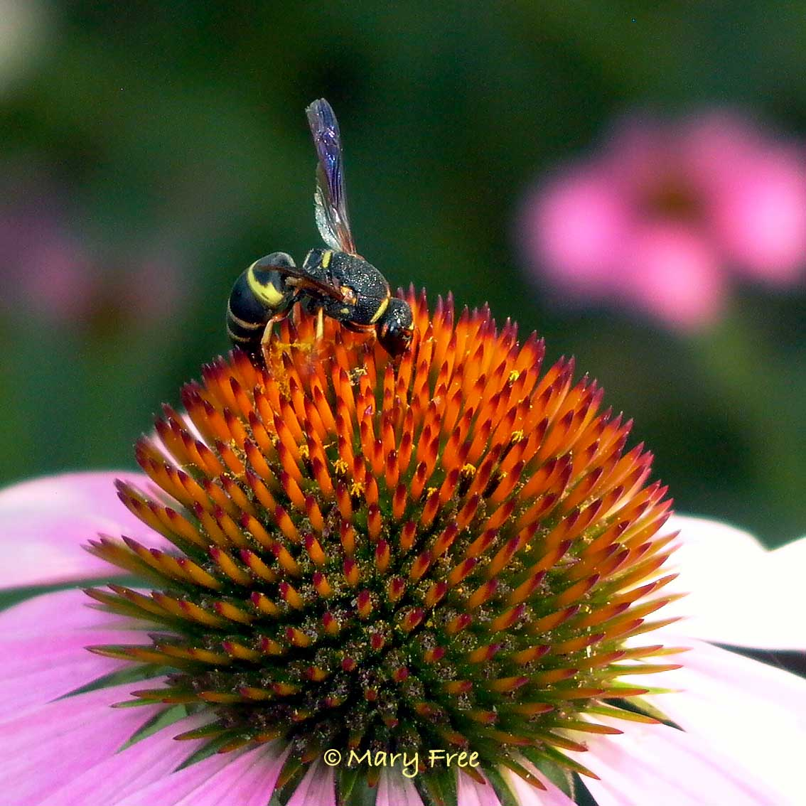 On the Echinacea – What's that Insect? | Master Gardeners ...