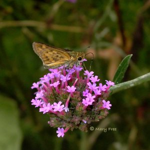 Verbena bonariensis, a self-seeding tender perennial located in Alexandria's Simpson Gardens, provides nectar to this grass skipper. Photograph © Mary Free