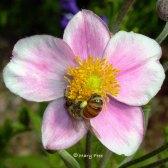 Anemone hupehensis 'September Charm' (Japanese anemone)