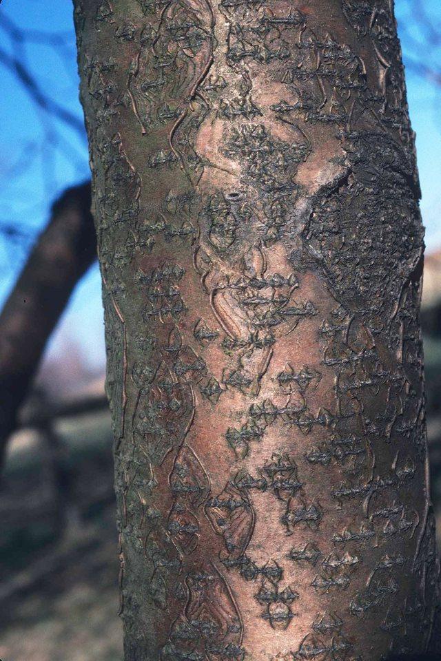 Maackia amurensis