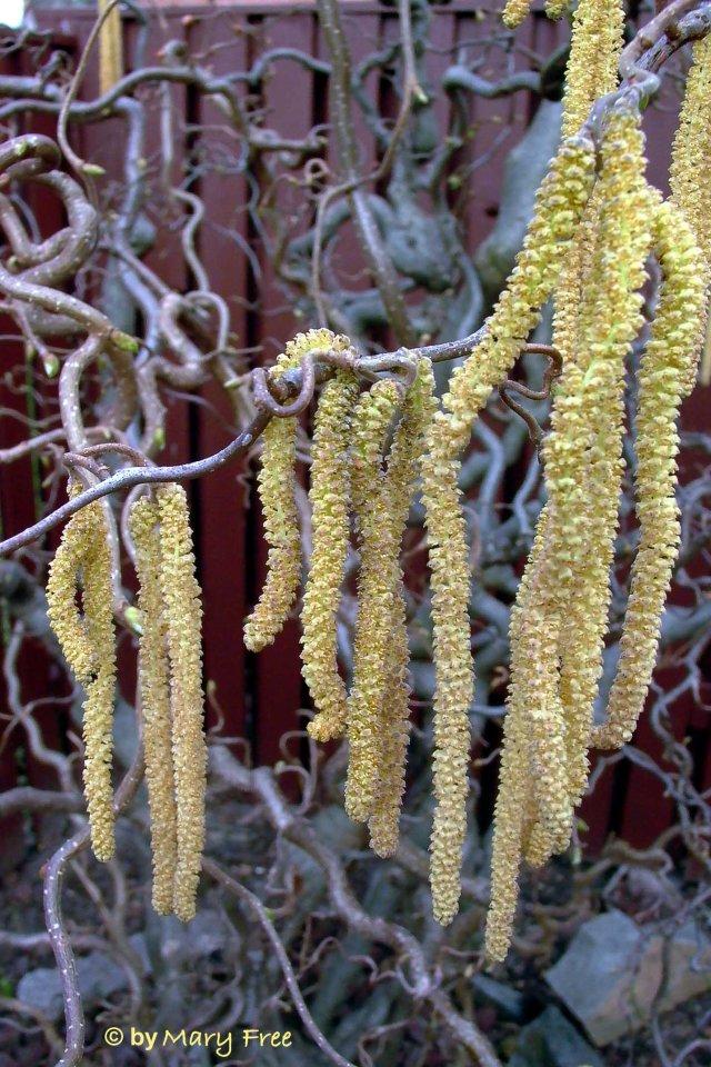 Corylus contorta