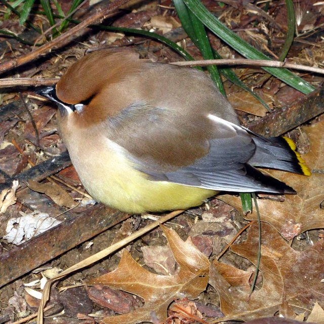 Was this dazed cedar waxwing inebriated and/or concussed? Photo copyright Bruce Roberts.