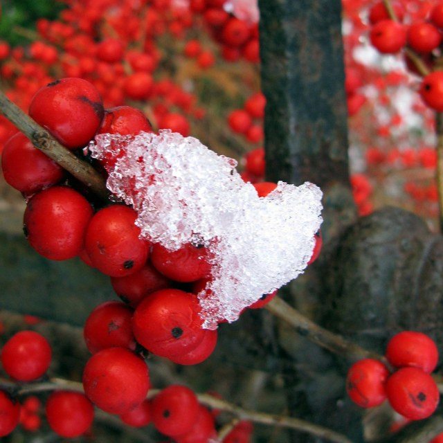 Ilex verticillata 'Red sprite'  (dwarf winterberry) grows 3' to 5' tall in moist to wet soils in full sun to part shade. Its red berries brighten the winter landscape and are enjoyed by many bird species. Photographed at the Glencarlyn Library Community Garden; copyright Judy Funderburk.
