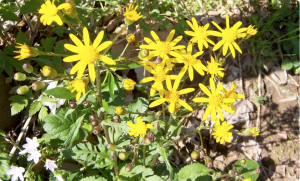Golden ragwort