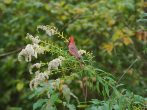 Male Cardinal on Solidago