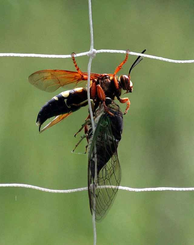 Cicada killer wasp with dog-day cicada  by Bill Buchanan USFWS at http://digitalmedia.fws.gov/cdm/singleitem/ collection/natdiglib/id/11642/rec/1