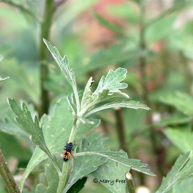 Asian lady beetle on Perovskia atriplicifolia 'Filigran.' Copyright Mary Free.