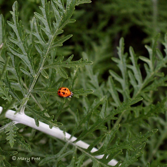 Asian lady beetle pupa on Perovskia atriplicifolia 'Filigran.' Copyright Mary Free.
