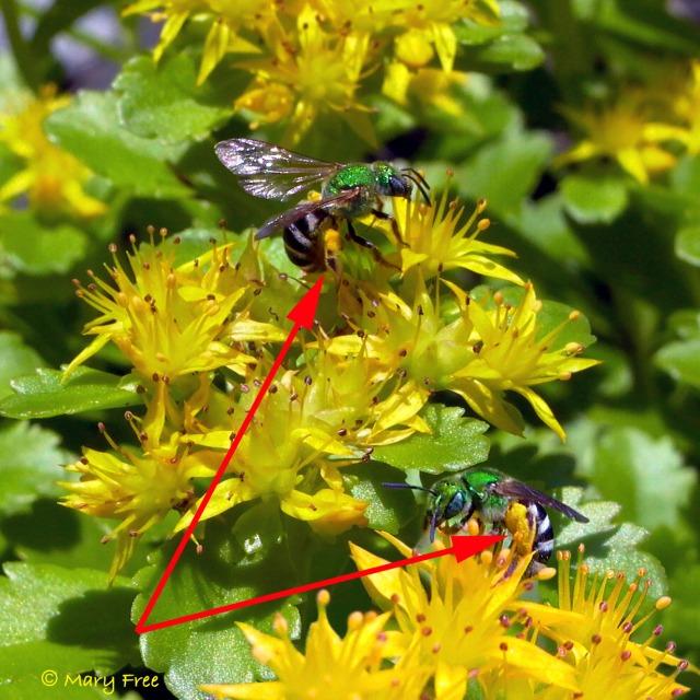 Sweat bees (Agapostemon virescens) on Sedum. Copyright Mary Free.