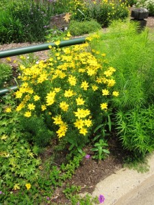 A section of Bed 7 in June, showing geranium, verbena, coreopsis, sun drops, and amsonia.