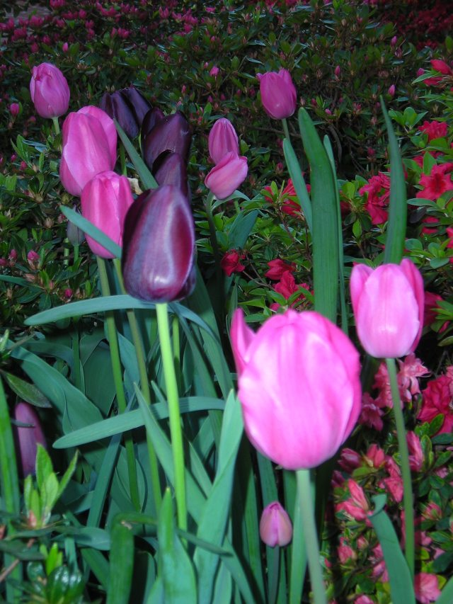2 - Glossy Tulip Perfection