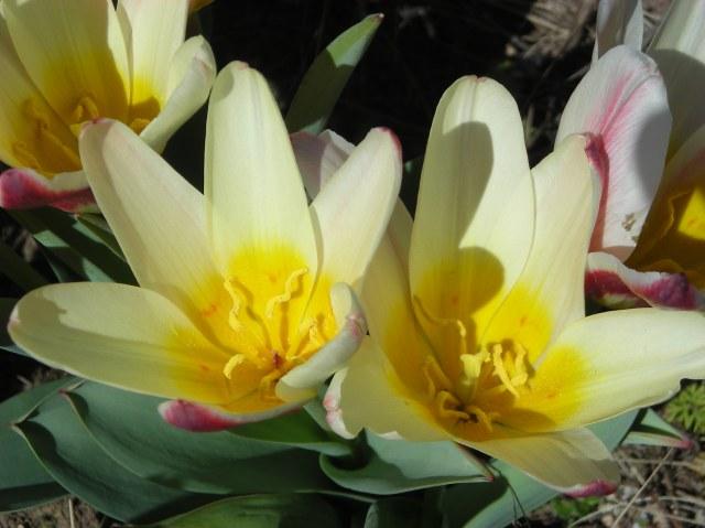 3 - Kaufmanniana Tulips Closeup
