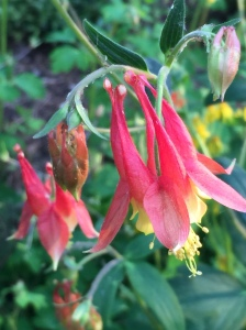 Aquilegia canadensis, Eastern Columbine