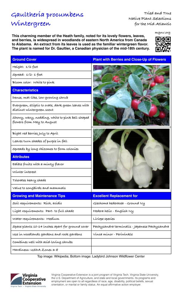 Gaultheria procumbens, Wintergreen
