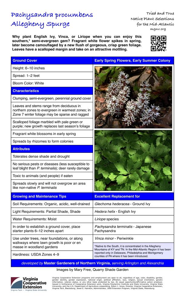 Pachysandra procumbens