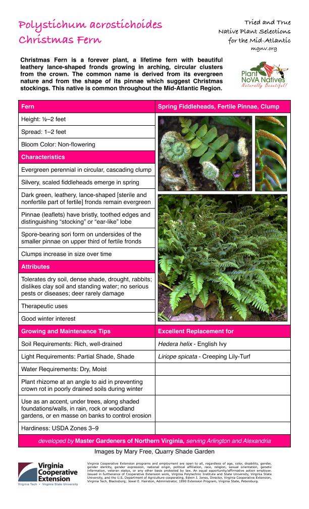Polystichum acrostichoides, Christmas Fern