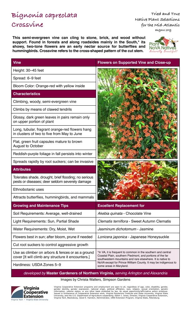 Bignonia capreolata, Crossvine