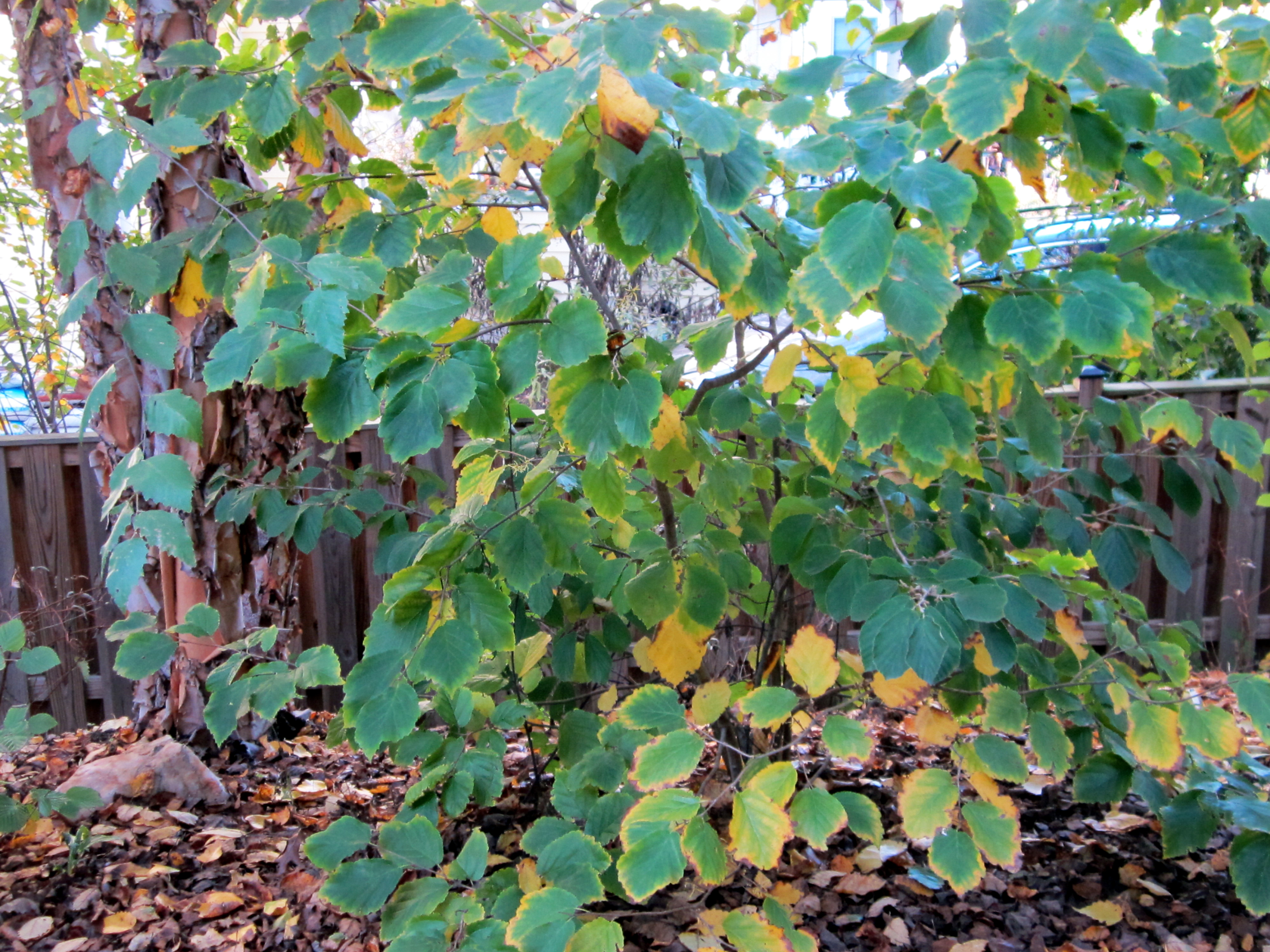 hamamelis virginiana witch hazel master gardeners of northern virginia. Black Bedroom Furniture Sets. Home Design Ideas