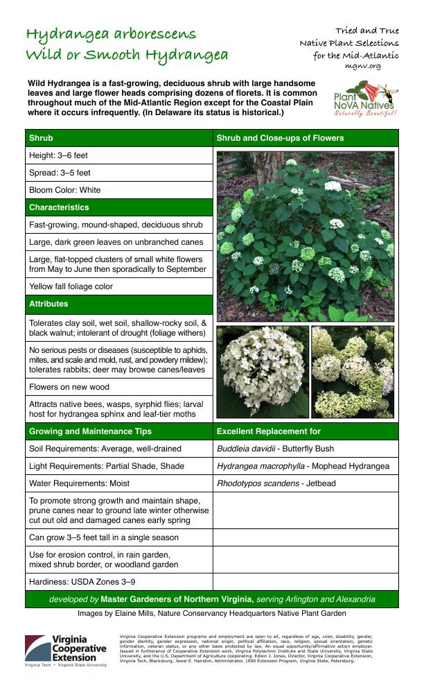 Hydrangea arborescens, Smooth (Wild) Hydrangea