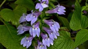 Lobelia siphilitica, Great Blue Lobelia