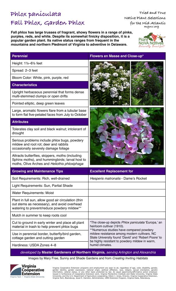 Phlox paniculata, Summer Phlox, Garden Phlox