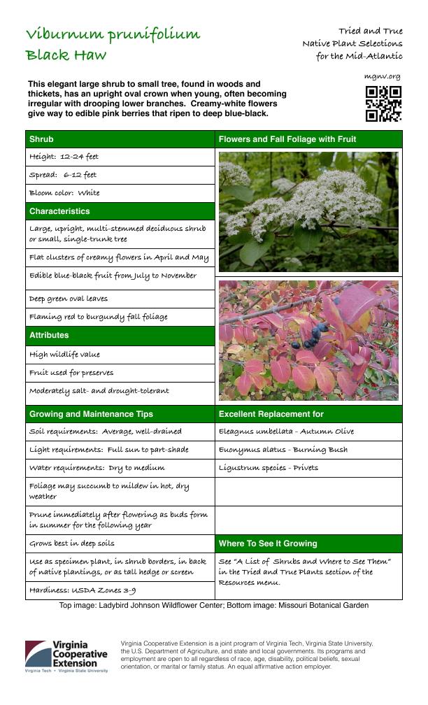 Viburnum prunifolium, Black Haw