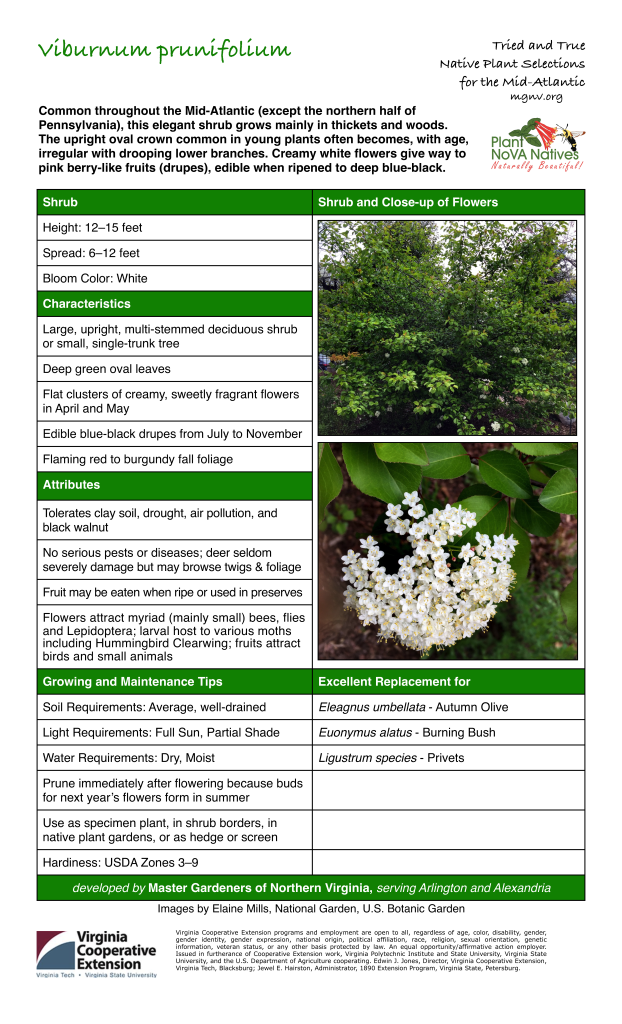 Viburnum prunifolium, Black Haw Tags: Shrub, Height: 12–15 feet, Spread: 6–12 feet, Bloom Color: White, Large, upright, multi-stemmed deciduous shrub or small, single-trunk tree, Deep green oval leaves, Flat clusters of creamy, sweetly fragrant flowers in April and May, Edible blue-black drupes from July to November, Flaming red to burgundy fall foliage, Tolerates clay soil, drought, air pollution, and black walnut, No serious pests or diseases; deer seldom severely damage but may browse twigs & foliage, Fruit may be eaten when ripe or used in preserves, Flowers attract myriad (mainly small) bees, flies and Lepidoptera; larval host to various moths including Hummingbird Clearwing; fruits attract birds and small animals, Growing and Maintenance Tips: Soil Requirements: Average, well-drained, Light Requirements: Full Sun, Partial Shade, Water Requirements: Dry, Moist, Prune immediately after flowering because buds for next year's flowers form in summer, Hardiness: USDA Zones 3–9, Excellent Replacement for Eleagnus umbellata - Autumn Olive, Euonymus alatus - Burning Bush, Ligustrum species - Privets
