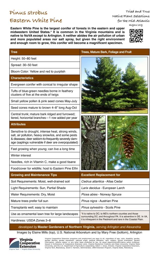 Pinus strobus, Eastern White Pine