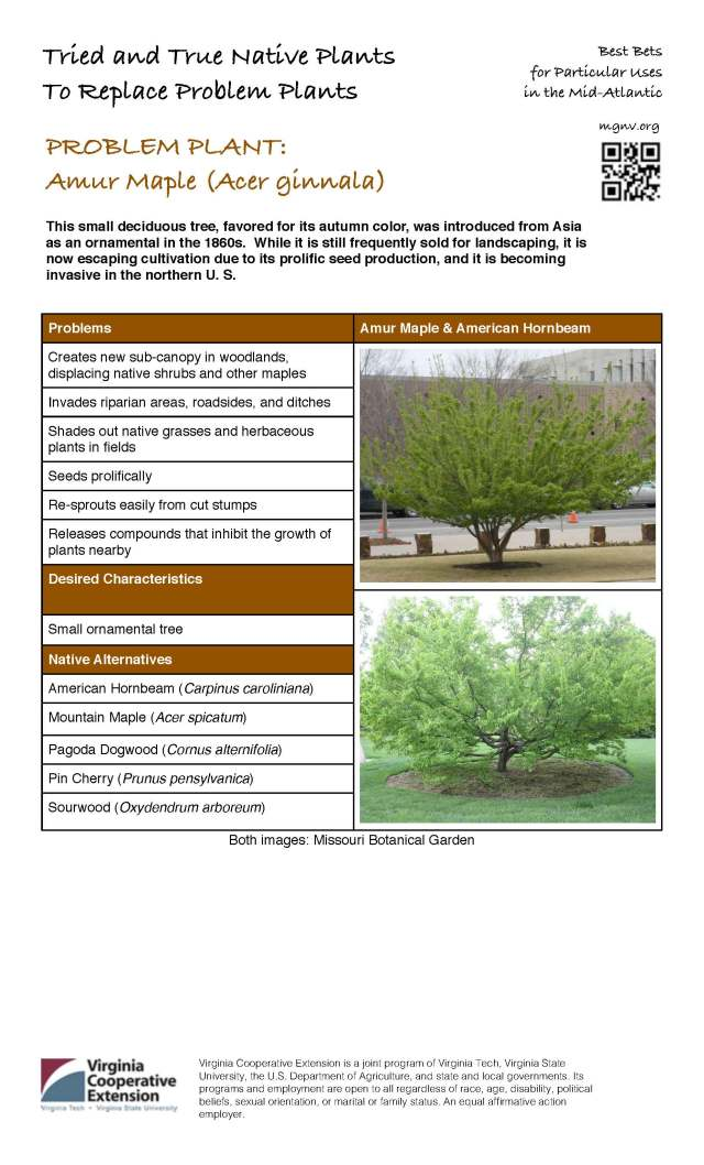 Problem Plant - Amur Maple