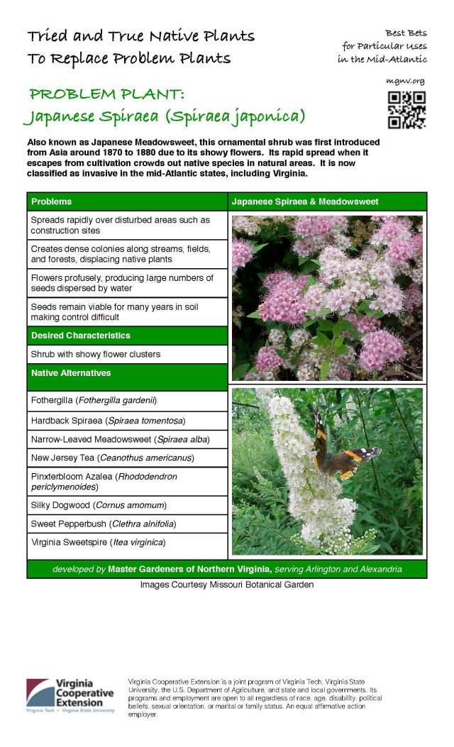 Problem Plant - Japanese Spiraea