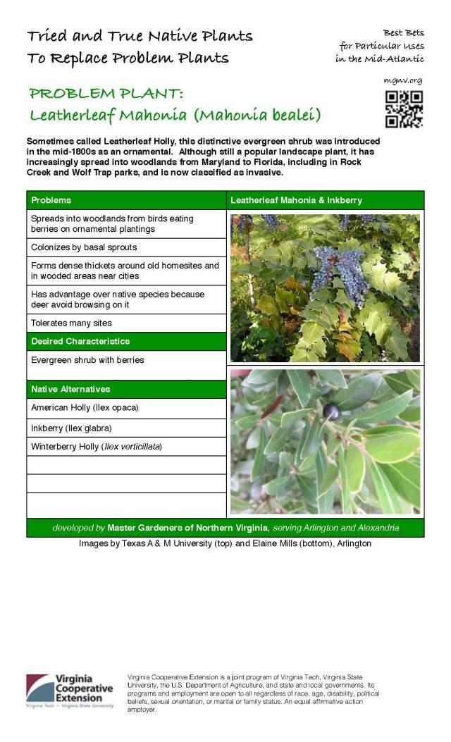 Problem Plant - Leatherleaf Mahonia