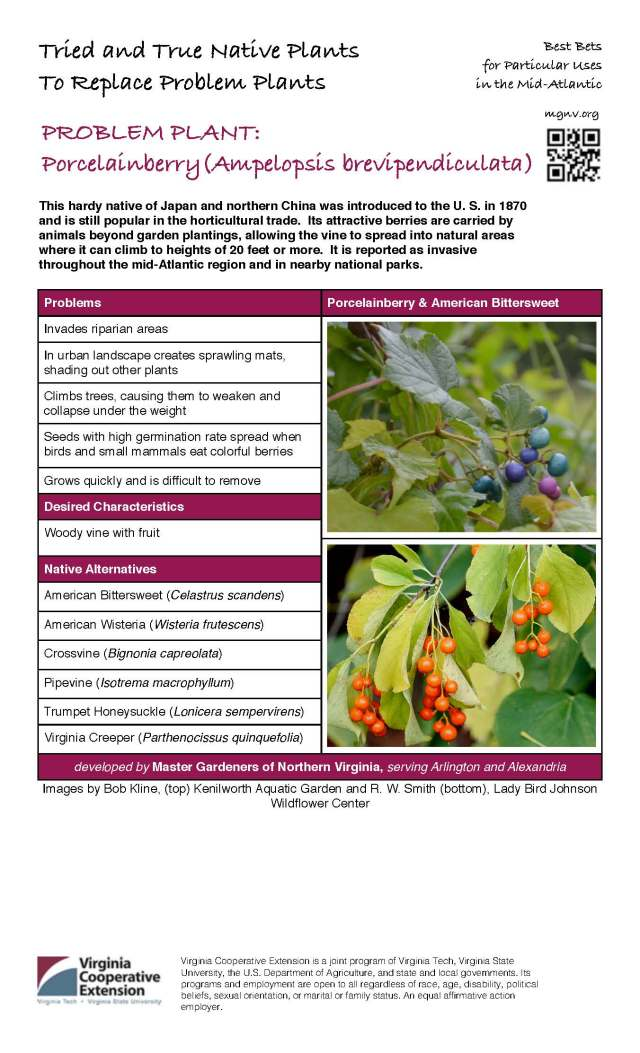 Problem Plant - Porcelainberry