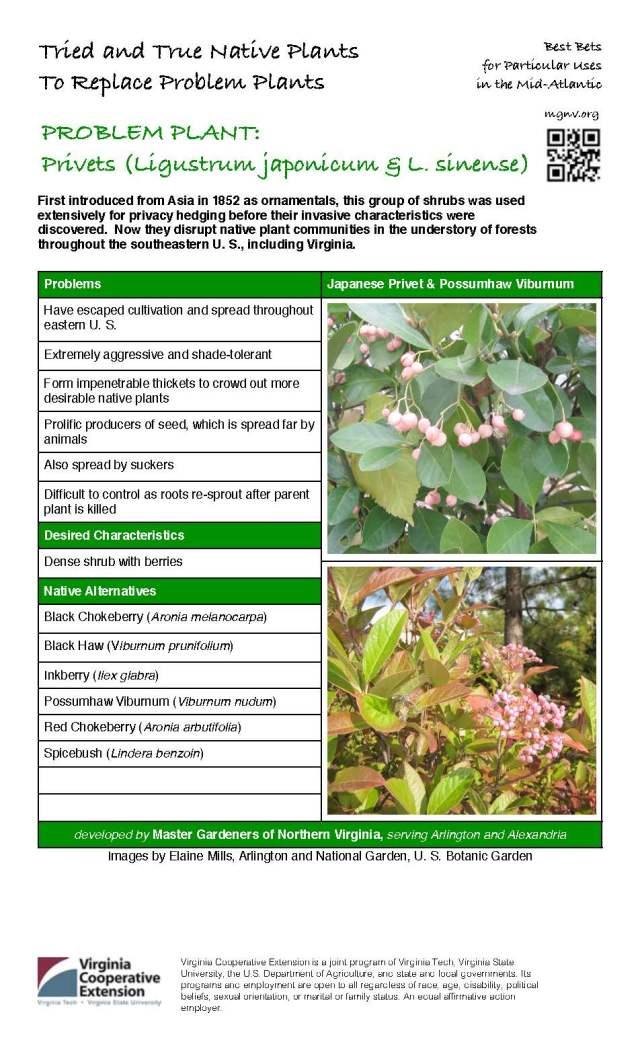 Problem Plant - Privets