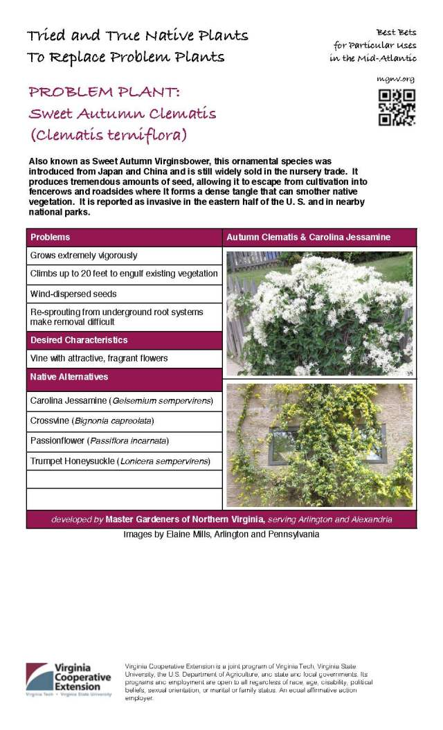 Problem Plant - Sweet Autumn Clematis