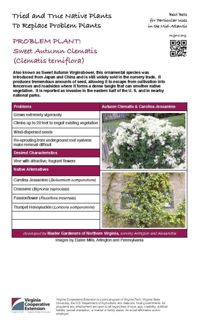 Problem Plant - Sweet Autumn Clematis