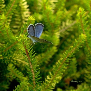 Cupido comyntas (Eastern tailed-blue) in August © Mary Free