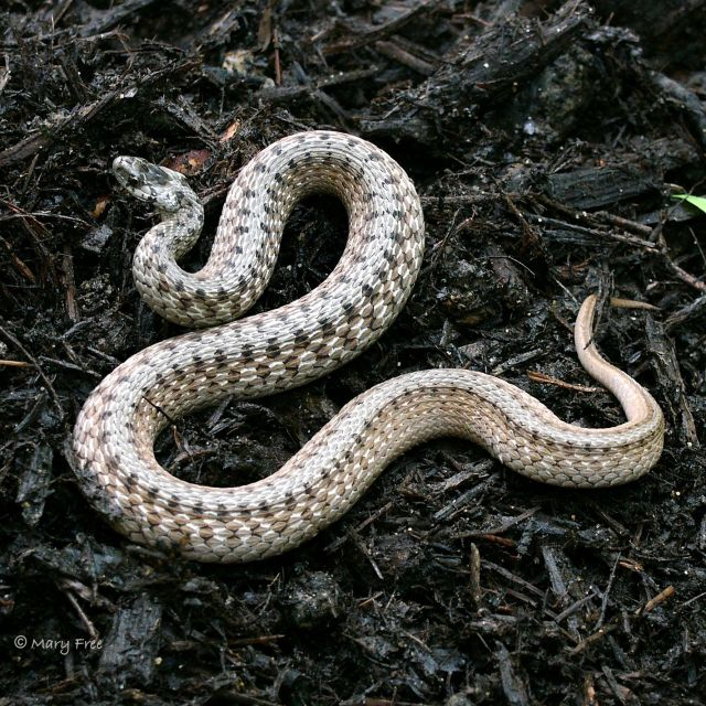 10. Northern Brownsnake