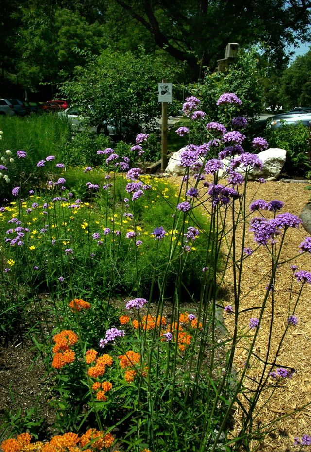 Asclepias tuberosa, Verbena bonariensis and Coreopsis bloom in the Garden in mid-June.