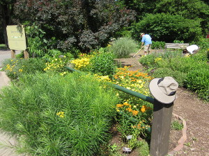 """One of the """"hellstrips"""" and eastern part of Bed 7 in mid-June.  Co-coordinator Joe Kelly weeds near Bed 6 in the background."""