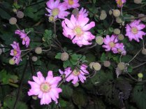 """Pink Fall Anemone"" by Christa Watters"