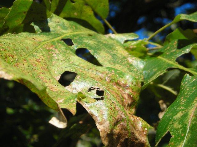 Well_used_oak_leaf (1)